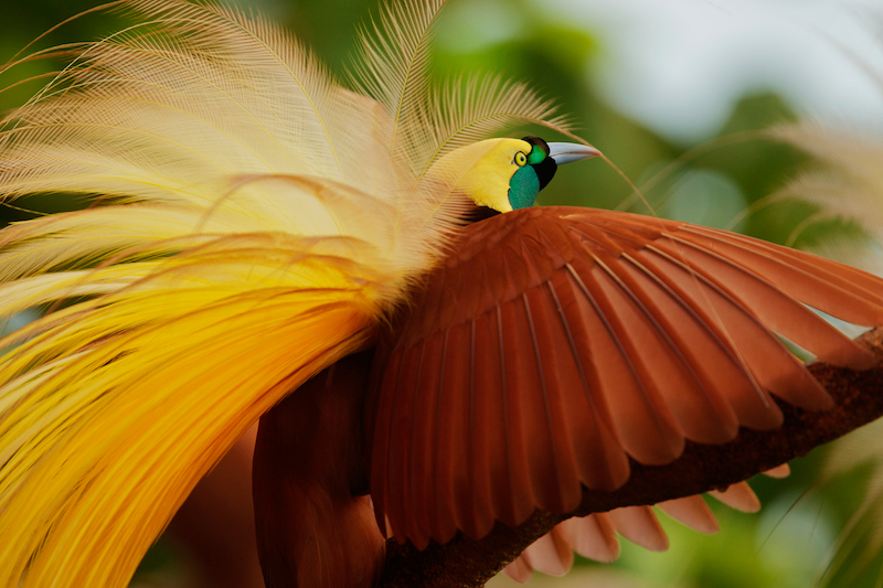 A close-up of a Greater Bird-of-Paradise (Paradisaea apoda) adult male performing upright wing pose.This image is available as a fine art print through National Geographic Fine Art Galleries.  Please contact lajolla@natgeofineart.com to purchase.