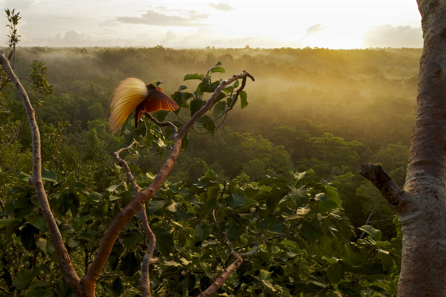 Greater Bird-of-Paradise (Paradisaea apoda) in the canopy at sunrise.Purchase an unsigned print.
