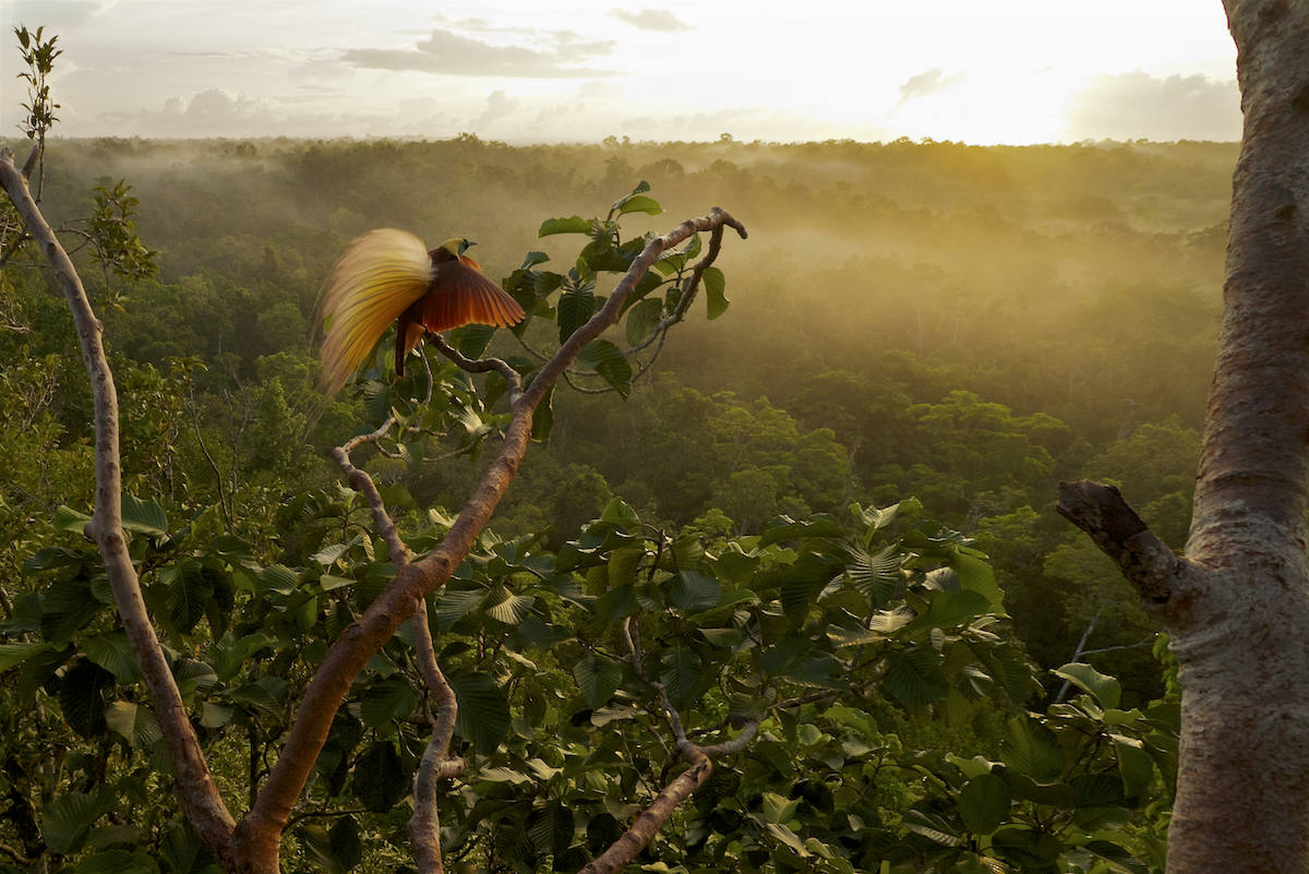 Greater Bird of Paradise (Paradisaea apoda)Badigaki Forest, Wokam Island in the Aru Islands, Indonesia.