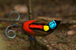 Wilson's Bird-of-Paradise