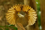 Young male Paradise Riflebird (Ptiloris paradiseus) performing a practice display.Purchase an unsigned print.