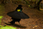 Wahnes' Parotia (Parotia wahnesi) adult male performs the ballerina display.Purchase an unsigned print.
