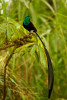 Stephanie's Astrapia Bird-of-Paradise (Astrapia stephaniae) adult male feeding at fruits of Shefflera plant.Purchase an unsigned print.