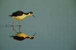 A black necked stilt (Himantopus mexicanus) and its reflection in the water at Palo Alto Baylands Nature Preserve, California.