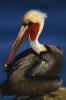 Close view of a brown pelican (Pelecanus Occidentalis) with breeding plumage in San Diego.