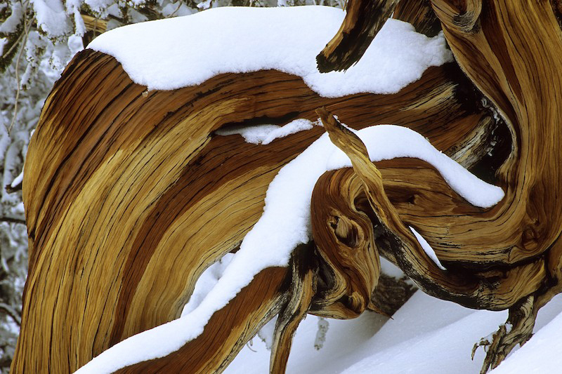 Close-up of a great basin bristlecone pine (Pinus longaeva) in the snow.