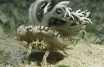 A crab carries an upside-down jellyfish for camouflage or protection.