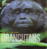 Face to Face with Orangutans, by Tim Laman and Cheryl Knott was released in May 2009.In this book Tim shares his stories of working with his wife, orangutan researcher Cheryl Knott, studying the wild orangutans of Borneo.  The book is entirely illustrated with Tim's unique images of fully wild orangutans and gives young readers not only a lot of interesting information about orangutans, but a real sense of what it is like to spend time with them in the rain forest.You can order it from Amazon.com.