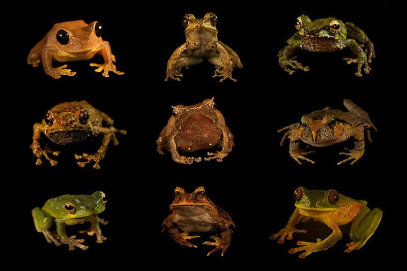 Nine different species of frogs found in the Foja Mountains.
