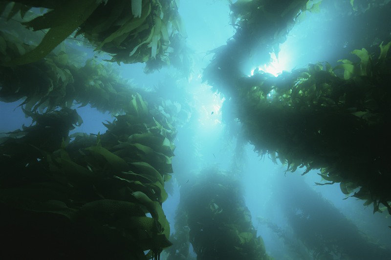 View of a giant kelp forest with surface sunlight near Catalina Island, Channel Islands, California, USA.