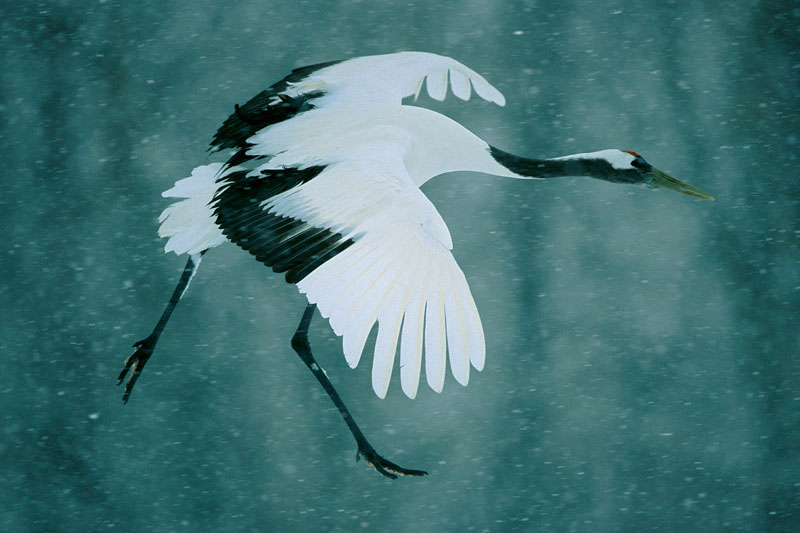 A Red-crowned Crane (Grus japonensis) comes in for a landing in a snowstorm.
