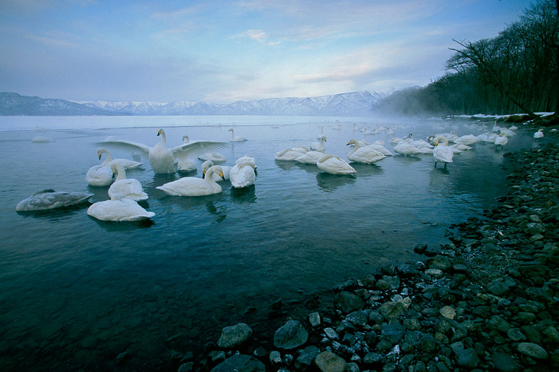 Whooper Swans awake at dawn on Kusharo Lake.