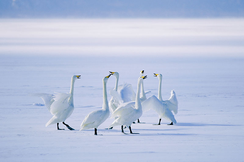 Whooper Swans call on frozen Lake Kusharo.