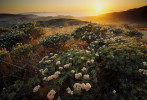 Sunset view of blooming Santa Cruz Island buckwheat (Eriogonum arborescens).  Endemic to Santa Cruz Island.  Channel Islands National Park.  Coastal sage scrub habitat, also called chaparrel.  Mediterrainan climate zone.