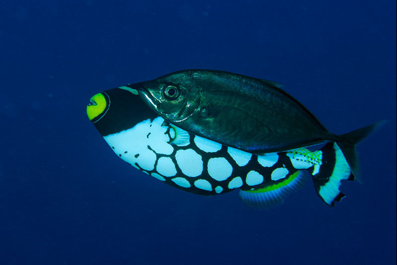 Clown Triggerfish with Barcheek Trevally