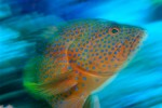 Blue-spotted Grouper (Cephalopholis miniata)