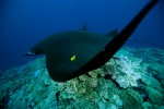 Manta Ray with Golden Trevally