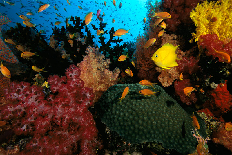 Golden Damselfish and coral diversity