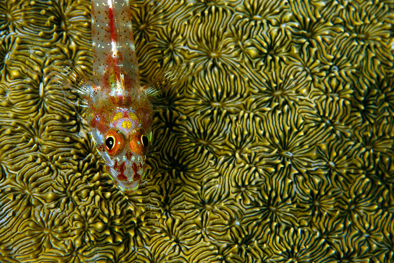 A close-up of a Triplefin on hard coral
