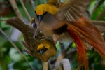 Birds of Paradise - A New Perspective from BBC's Planet Earth II.