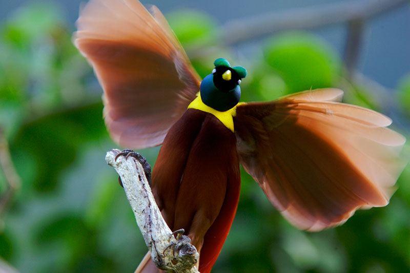 Red Bird of Paradise (Paradisaea rubra) preforming a courtship display in the rainforest.