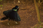 Western Parotia