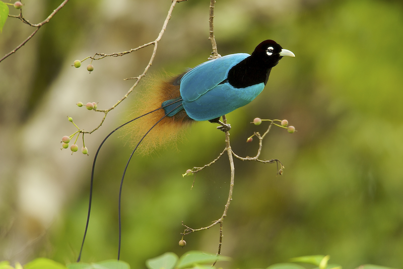 Birds of Paradise Project Trailer
