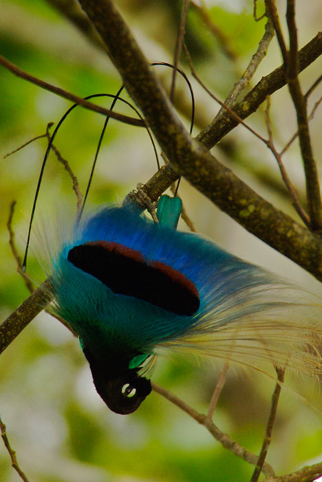 Blue Bird of Paradise (Paradisaea rudolphi) male performing inverted display in the rainforest of Papua New Guinea.