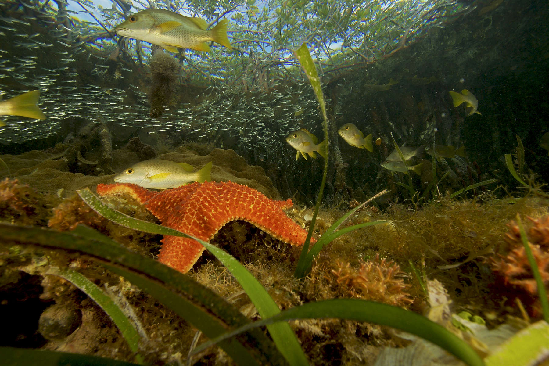 Snappers, silversides, and a sea star share space in the underwater world of the mangrove forest.