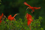 Scarlet ibises on their roosting trees on a small mangrove island in the Caroni Swamp