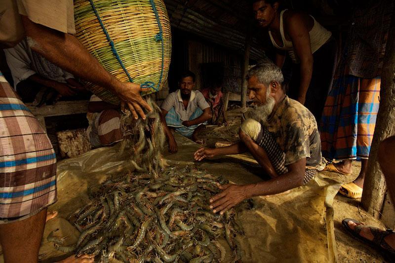 Men sorting shrimp harvested from a shrimp pond.