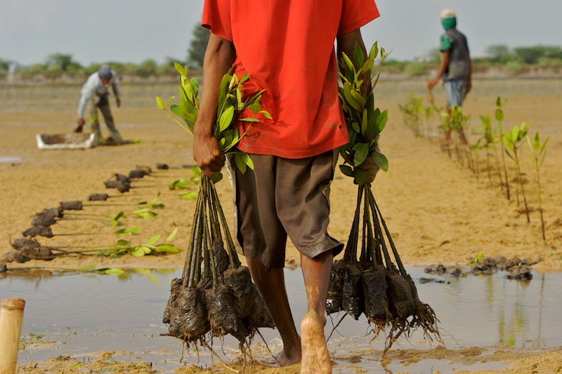 Planting of Rhizophora mangrove seedlings in a estuary in Bali at low tide.