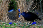 Satin Bowerbird (Ptilonorhynchus violaceus) male at  his bower, which is decorated with many blue plastic items, and a blue feather of a Crimson Rosella parrot which the bowerbird is holding.