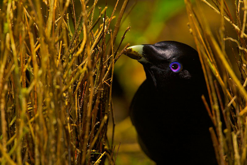 Satin Bowerbird (Ptilonorhynchus violaceus minor) male {quote}painting{quote} the inner walls of his bower with masticated plant matter.  Note the substance on his bill.  This bower is decorated with all natural objects.
