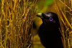 Satin Bowerbird (Ptilonorhynchus violaceus minor) male &quot;painting&quot; the inner walls of his bower with masticated plant matter.  Note the substance on his bill.  This bower is decorated with all natural objects.