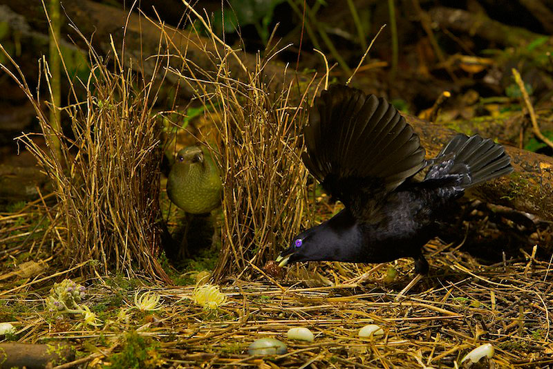 Satin Bowerbird (Ptilonorhynchus violaceus minor) male displays to a female who has entered his bower.  He holds a cicada case in his bill.