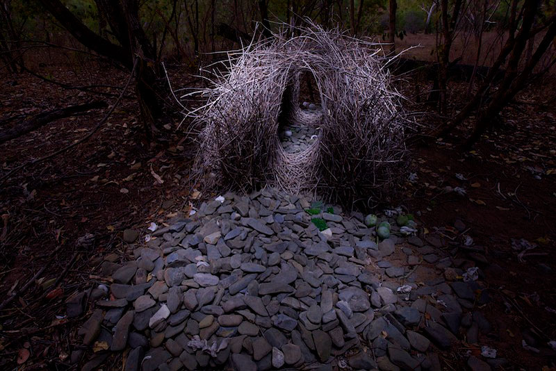 Bower of a Great Bowerbird (Chlamydera nuchalis) located far from civilization in the dry forest west of the village of Irvinebank.  Decorations are mostly stones with a few snail shells, green fruits, and pieces of green glass.