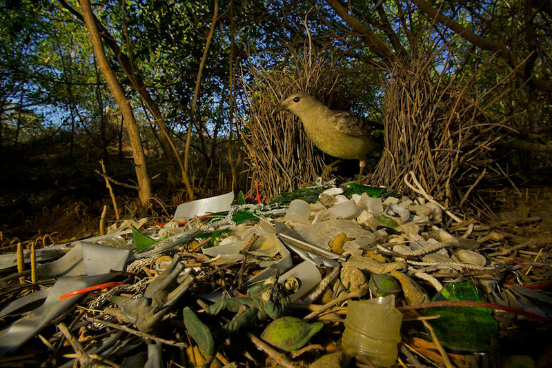A Great Bowerbird (Chlamydera nuchalis) male at his bower with green glass, plastic toy elephan, toy soldier, and other decorations.