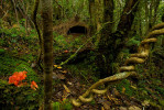 Rain forest of the remote Arfak Mountains of New Guinea, with Bower of a Vogelkopf Bowerbird (Amblyornis inornatus) decorated with blue berries, and with a clump of orange flowers placed by the bowerbird peripheral to the bower.