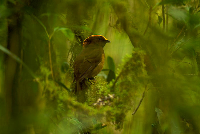 A male yellow-fronted bowerbird (Amblyornis flavifrons) perched near his bower in the rainforest.