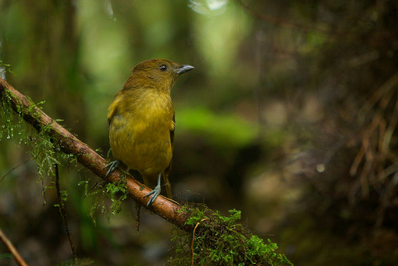 Yellow-fronted Bowerbird (Amblyornis flavifrons) female visiting a bower in the Foja Mountains.