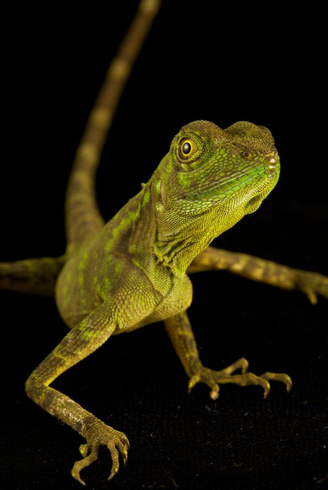 A portrait of a Agamid lizard (Hypsilurus modestus).