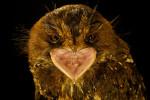 A portrait of a Feline owlet nightjar (Aegotheles insignis).