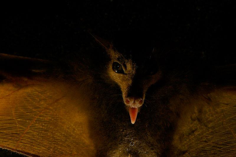 A new species of blossom bat.