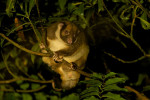 This painted ringtail possum (Pseudochirulus forbesi) was found at approximately 6,560 feet in the upper montane forest of the Foja Mountains.