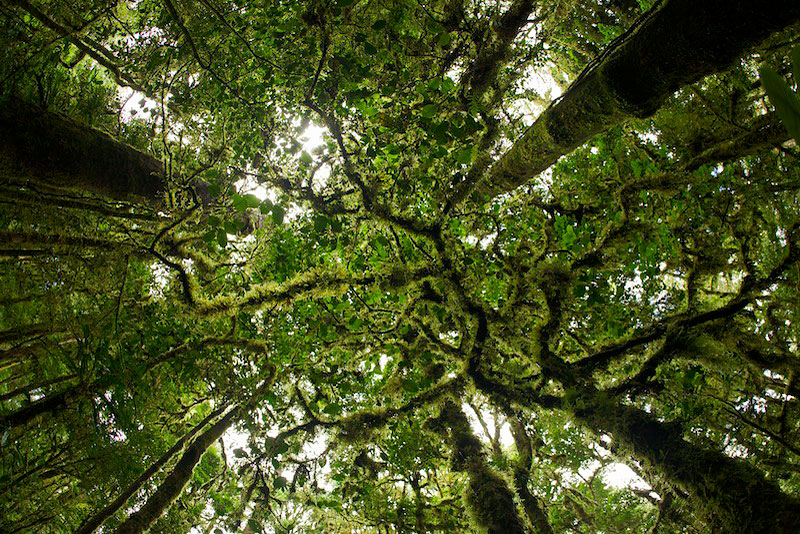 Looking up into the canopy of the mossy montane rainforest.