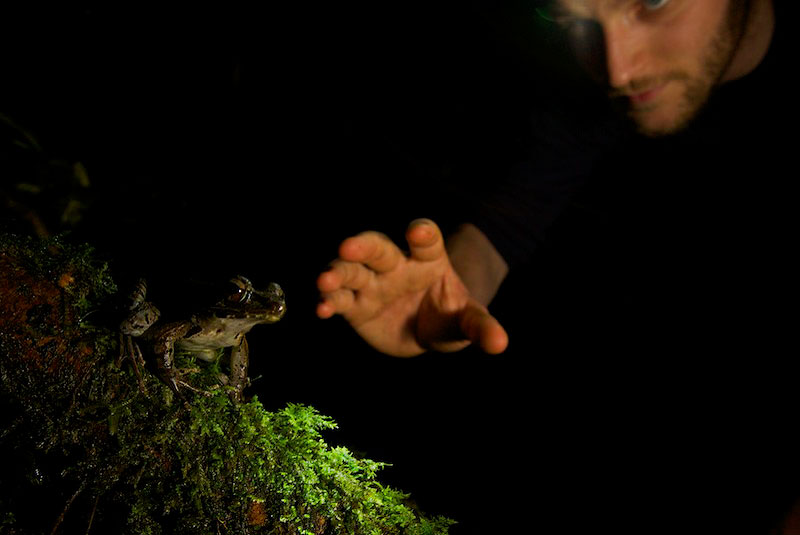 Paul Oliver reaches to a frog (Rana sp.) on a nightly collection hike.