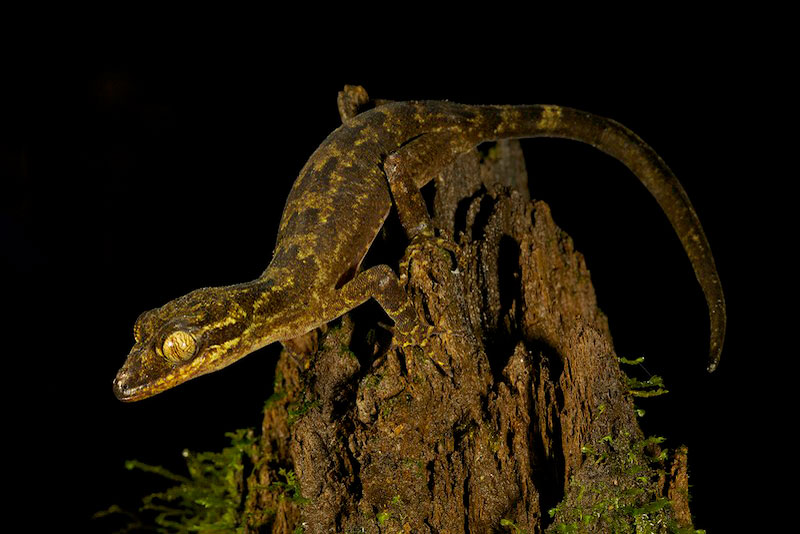 A  new species of Gecko (Cyrtodactylus sp. nov.) discovered at 3,940 feet up in the Foja Mountains.