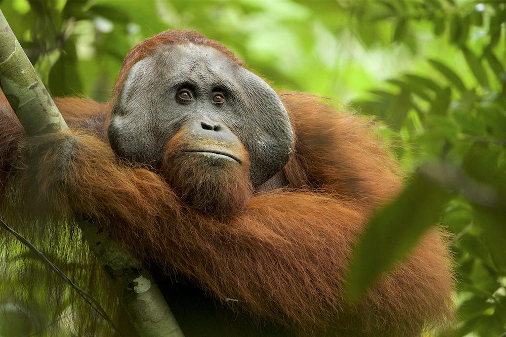 In the vanishing lowland rainforests of Borneo, research is underway to uncover and understand the unique cultural behaviors in wild orangutans before it's too late. There Tim Laman and others have documented these incredible animals in action as the orangutans make pillows, fashion umbrellas and display their greetings. This research may prove to be key in protecting this critically endangered species.