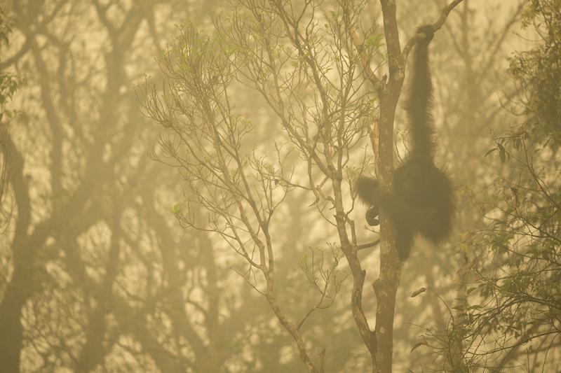 Winner of the Nature Stories Category at World Press Photo 2016.A Bornean Orangutan (Pongo pygmaeus) seen through the smoke of forest fires that blanketed much of Borneo in Oct 2015 has been forced out to a small strip of forest along a river edge because of burning forest behind him.